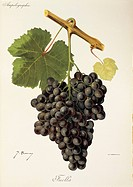 Pierre Viala (1859-1936), Victor Vermorel (1848-1927), Traite General de Viticulture. Ampelographie, 1901-1910. Tome III, plate: Fuella grape. Illustr...