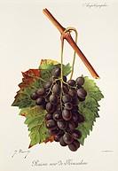 Pierre Viala (1859-1936), Victor Vermorel (1848-1927), Traite General de Viticulture. Ampelographie, 1901-1910. Tome IV, plate: Raisin Noir de Jerusal...