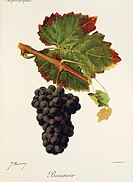 Pierre Viala (1859-1936), Victor Vermorel (1848-1927), Traite General de Viticulture. Ampelographie, 1901-1910. Tome IV, plate: Beaunoir grape. Illust...