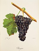 Pierre Viala (1859-1936), Victor Vermorel (1848-1927), Traite General de Viticulture. Ampelographie, 1901-1910. Tome VI, plate: Bregin grape. Illustra...
