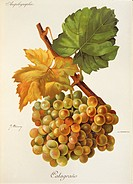 Pierre Viala (1859-1936), Victor Vermorel (1848-1927), Traite General de Viticulture. Ampelographie, 1901-1910. Tome VI, plate: Calagrano grape. Illus...