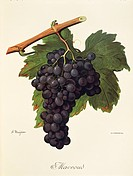 Pierre Viala (1859-1936), Victor Vermorel (1848-1927), Traite General de Viticulture. Ampelographie, 1901-1910. Tome VI, plate: Mavroud grape. Illustr...