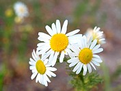 Marguerite flowers, grouped together, towards fresh green background