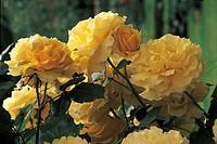 Botany - Rosaceae - Meilland Rimosa rose.