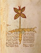 Manuscript, Italy, 15th century. Herbal from Trento. Plate: Herba Paris. Herb used to strengthen the bones. Manuscript 1591, folio 5, recto. Herbal wi...