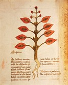 Manuscript, Italy, 15th century. Herbal from Trento. Plate: Herba superna. Painkiller herb for every part of the body. It grows on the mountains where...