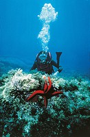 Scuba diver observing starfish on ocean floor