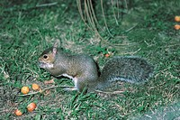 Zoology - Rodents - Squirrel