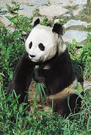 Zoology - Giant Panda (Ailuropoda melanoleuca)