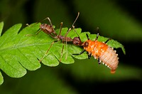 Red ant taking on ladybird larvae