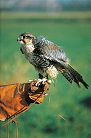 Lanner Falcon (Falco biarmicus) sitting on owner's hand
