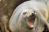 Zoology - Pinnipeds - True seals - Southern Elephant Seal (Mirounga leonina)
