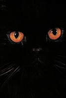 Zoology - Felids - Black domestic cat (Felis catus or domesticus), eyes close-up