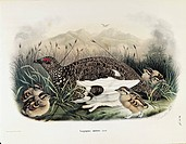 Eugenio Bettoni, Storia naturale degli uccelli che nidificano in Lombardia (Natural history of birds that nest in Lombardy) - Rock Ptarmigan (Lagopus ...
