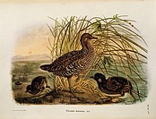 Eugenio Bettoni, Storia naturale degli uccelli che nidificano in Lombardia (Natural history of birds that nest in Lombardy) - Spotted Crake (Porzana p...