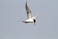 A Tern in flight looking for food in a saltmarsh  The Tern is possibly a Forster´s Tern or a Common Tern which are difficult to tell apart when in bre...