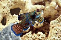 Aquarium fishes, Mandarinfish or Mandarin dragonet Synchiropus splendidus  swimming at coral