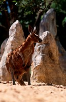 Zoology - Mammals - Marsupials - Red Kangaroo (Macropus rufus).