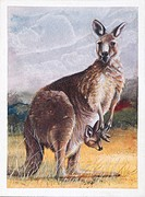 Zoology, Mammals, Diprotodontia. Red Kangaroo (Macropus rufus), illustration