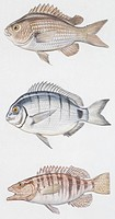 Zoology - Fishes - Perciformes - Brown comber (Serranus hepatus), White seabream (Diplodus sargus), Damselfish (Chromis chromis), illustration