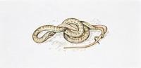 Zoology - Reptiles - Colubridi - Colubro smooth (Coronella austriaca). Drawing.