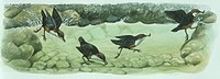 Zoology - Birds - Passeriformes - White-throated Dipper (Cinclus cinclus) feeding underwater, sequence of movements, illustration