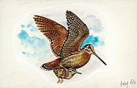 Eurasian Woodcock (Scolopax rusticola) while carrying a young in flight , illustration.