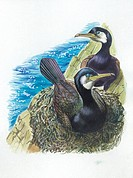 Couple of Great Cormorants (Phalacrocorax carbo), the female is in the nest warming the eggs, illustration.