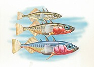 Three-spined stickleback (Gasterosteus aculeatus), males changing color in breeding season, illustration.