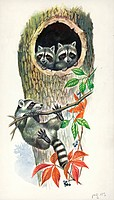 Young Raccoons (Procyon lotor) in the den, illustration.