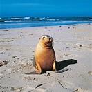 Zoology - Pinnipeds - Australian Sea Lion (Neophoca cinerea). Australia, Kangaroo Island
