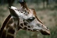 Zoology - Mammals - Artiodactyls - Giraffids - Giraffe (Giraffa camelopardalis). Kenya, Nairobi National Park, Langata Giraffe Centre.