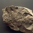 Fossils - Plants - Pteridophyta - Equisetopsida - Annularia Stellata - Carboniferous - France.