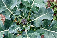 Closeup of broccoli in garden