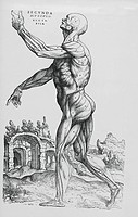 History of medicine: XVI century. Anatomic drawing from 'De humani corporis fabrica libri septem' ('On the fabric of the human body in seven books') b...