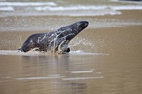 New Zealand Sea Lion -Phocarctos hooken -, Cannibal bay, South Island, New Zealand