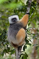 Diademed Sifaka Propithecus diadema sitting in tree, Analamazoatra, Andasibe-Mantadia National Parc, Madagascar