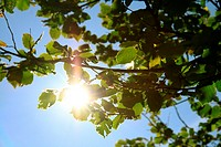 sun energy on green leaves/ photosynthesis