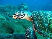 Green Turtle Chelonia mydas, Two Mile reef, Sodwana, South Africa