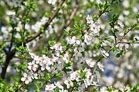 Kirchbaumblüte