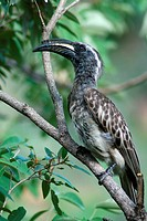 Mabalingwe, African grey hornbill sitting on a branch, Tockus nasutus
