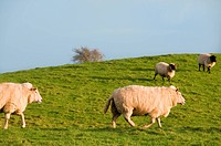 Schafe auf der Weide _ Sheep on a meadow