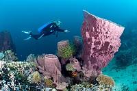 Scuba Diver and Barrel Sponge, Xestospongia testudinaria, Cenderawasih Bay, West Papua, Indonesia ...