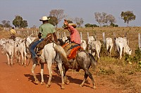 Brazil, Pantanal, pantaneros with cattle                                                                                                              ...