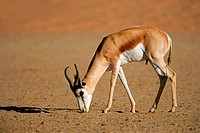 A springbok antelope Antidorcas marsupialis, Kalahari desert, South Africa