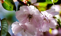 the flower of a cherry tree in blossom