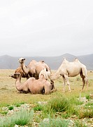 Herd of Bactrian camels in the Altai Mountains on the border with Mongolia