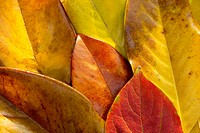Autumn Leaves, close_up