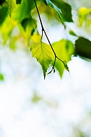 Birch tree branch with green leaves closeup