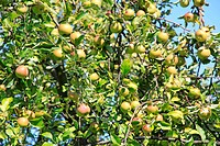Plenty Of Apples On Apple Tree